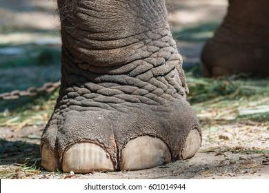 Elephant ,elephant leg.
