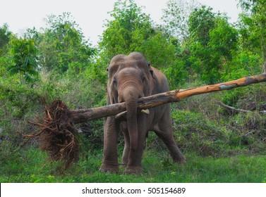 elephant lifted the tree.
