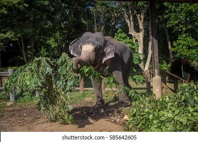 Elephant lifting leaves