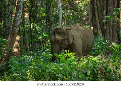 Elephant living in the jungle, It is feeding and greenery environment as the background,Northern Thailand