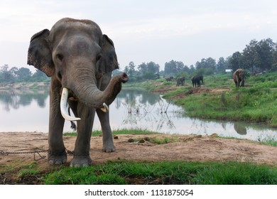 Elephant with long ivories at the elephant farm.