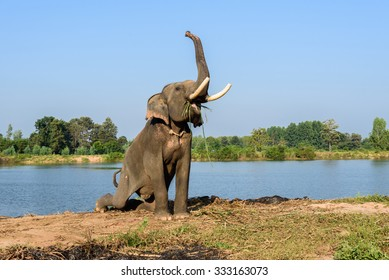 elephant with long ivory sit and raise its trunk while eating
