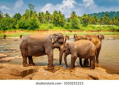 Elephant love in the river, Sri Lanka