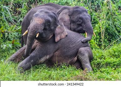 Elephant Love - Two Young Elephants playing in lush green Jungle - Kinabatangan safari, Borneo, Malaysia, Asia, soft focus