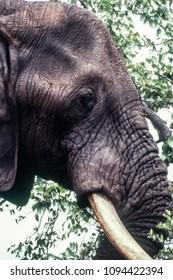 Elephant (Loxodonta africana) , Kruger National Park, mpumalanga, south africa