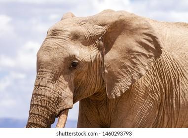 Elephant loxodonta africana side view profile head body Ol Pejeta Conservancy Sweetwaters waterhole Kenya East Africa safari wild animal sky in distance threatened species