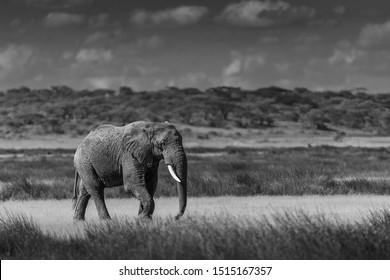 Elephant (Loxodonta africana) in Tanzania