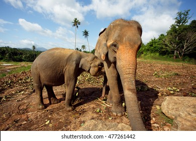 Elephant makes selfie with his trunk with baby elephant. Sri Lanka