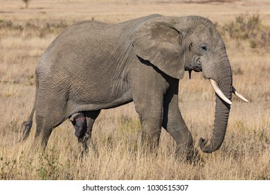 Elephant male with huge penis, erection, mature marching trough savanna grass, profile portrait, October 2017, Serengeti National Park, Tanzania, Africa