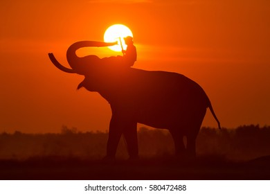 Elephant and Man hometown in the field on during sunrise ,Surin Thailand