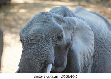 Elephant in Mana Pools National Park, Zimbabwe