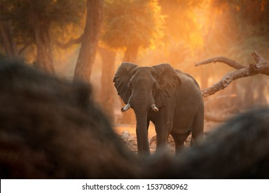 Elephant at Mana Pools NP, Zimbabwe in Africa. Big animal in the old forest, evening light, sun set. Magic wildlife scene in nature. African elephant in beautiful habitat. Art view in nature.