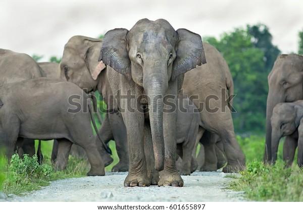 Elephant Matriarch Guard Her Family Inside Stock Photo (Edit