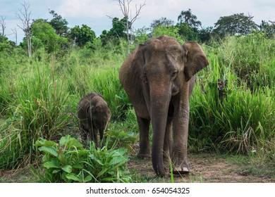 Elephant at Minneriya National Park,Big elephants in Sri Lanka