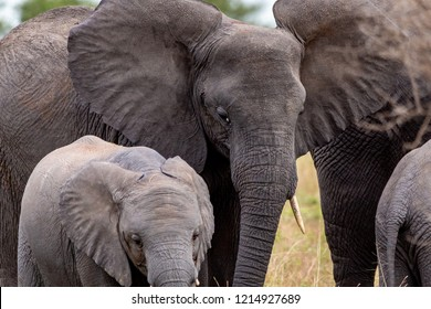 An elephant mom escorting her baby in Tanzania's Serengeti National Park
