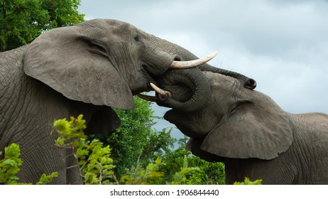 Elephant mother with her sub adult calf