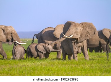 "Elephant mother sticks out her trunk to make trumpet sound ""trumpetting""and is copied by her cute baby calf. Loxodonta Africana family in Amboseli National Park, Kenya, Africa"