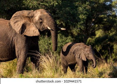 Elephant Mother and Young Elephant Next to Each Other in Front of Green Forest