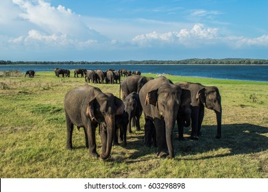 Elephant Mothers Protecting Their Babies at the Waterhole of Minneriya National Park in Sri Lanka (Biggest Gathering of Asian Elephants Worldwide)