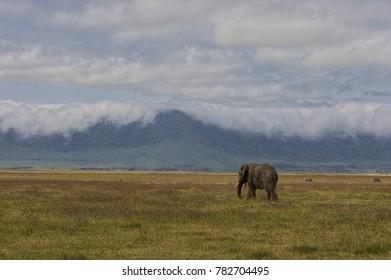 Elephant, Ngorongoro Reserve