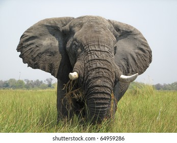 Elephant in the Okavango Delta Botswana Africa