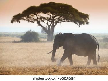Elephant on african savannah in the misty morning light