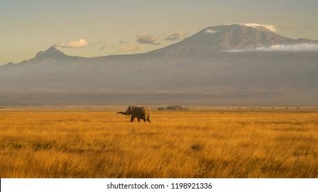 Elephant on mount Kilimanjaro background at sunset