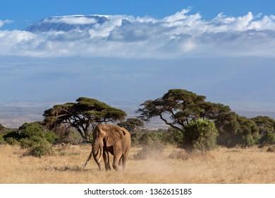 Elephant on mount Kilimanjaro background