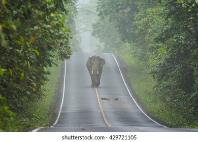 Elephant on the road in Khao Yai National Park,thailand