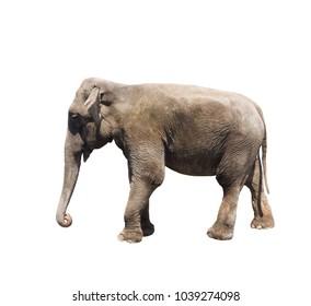 elephant on white background