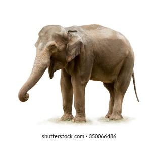 Elephant on white background. Focus on eye.
