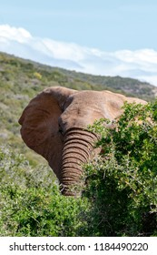 Elephant peeking behind the thorny bush in the field