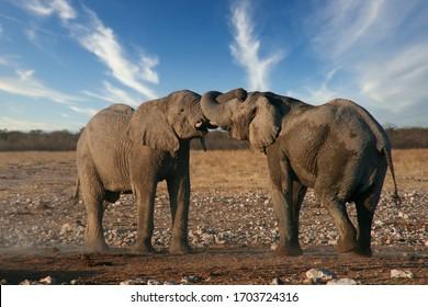 Elephant playing in the nature conservation Etosha in Namibia
