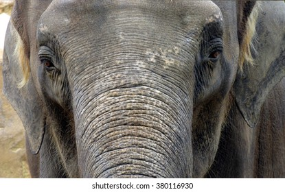 elephant portrait close up