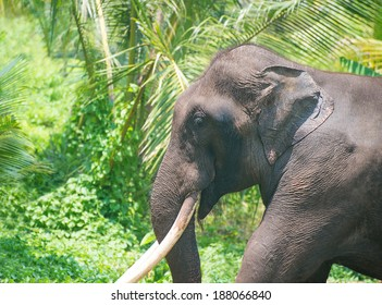 Elephant portrait with large tusks in jungle, Sri Lanka