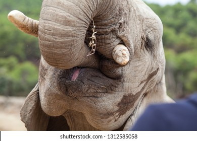 Elephant puts food in his mouth, close-up