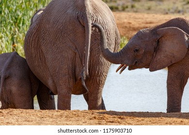 Elephant reaching out to the other Elephant to pull its tail