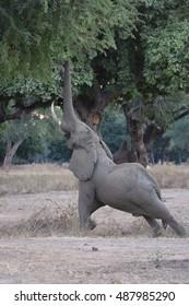 Elephant reaching for tree