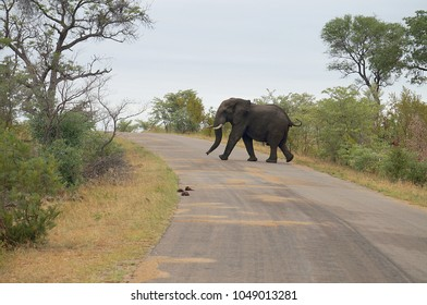 Elephant in road in Kruger National Park in South Africa