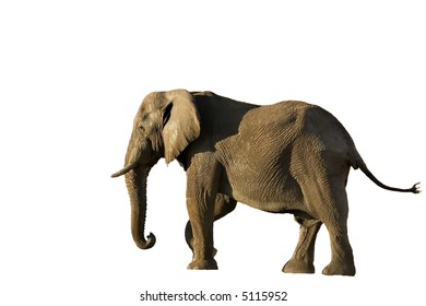 Elephant in Savute isolated on white (Chobe Game Reserve Botswana)