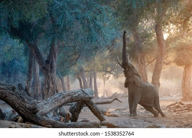 Elephant scene from Mana Pools National Park. African elephant trying to reach on the leaves of trees. Elephant with high stretched trunk in colorful morning light. Mana Pools park, Zimbabwe.