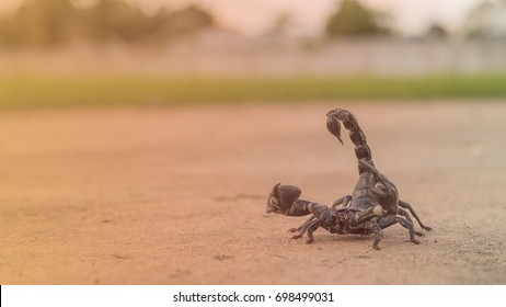 Elephant scorpion is biggest scorpion  in the morning on selective focus