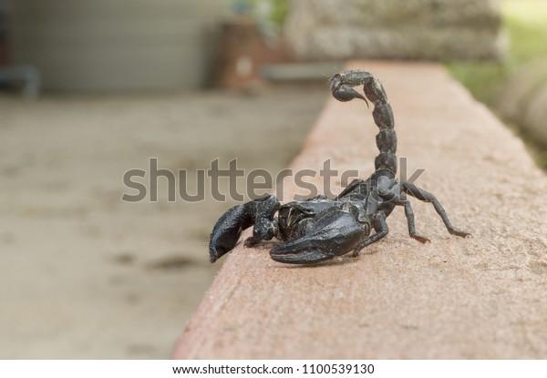 patrocinado ventaja fecha  Elephant Scorpion Biggest Scorpion Morning On Stock Photo (Edit Now)  1100539130