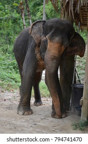Elephant scratching in sanctuary in Thailand