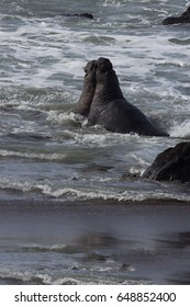 Elephant seal bulls battle in Pacific Ocean surf.  Location is Piedras Blancas Elephan Seal Rookery in California.