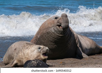 Elephant seal couple mating, Peninsula Valdes, Patagonia, Argent