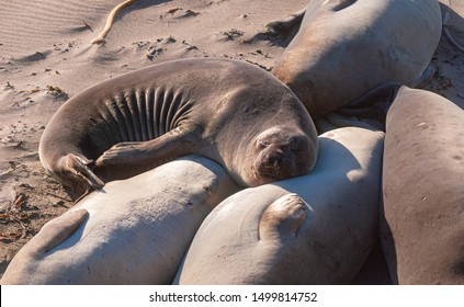 an elephant seal curled up in the sun on a central california beach with its head on another seal's stomach