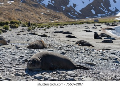 Elephant seal female on the beach