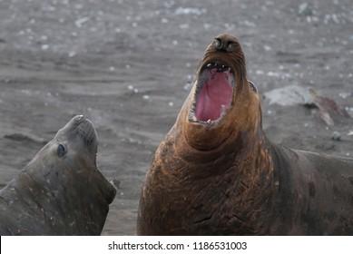 Elephant seal, Hannah Point, Antartica