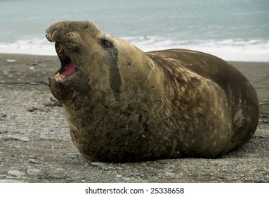 Elephant seal - male